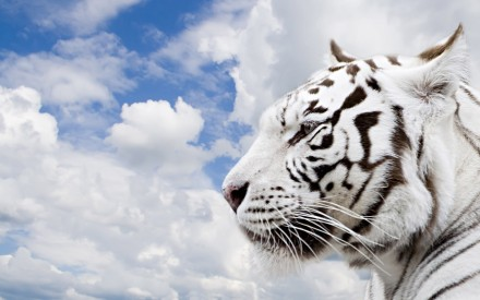 Animals_Beasts_White_Tiger_019741_ (2)