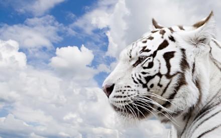 Animals_Beasts_White_Tiger_019741_ (2)